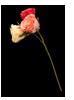 FL-roses-1