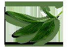 peony-leaves-3