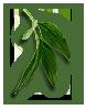 peony-leaves-4
