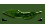 peony-leaves-5